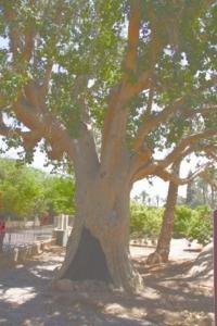 Zacheüsboom in Jericho