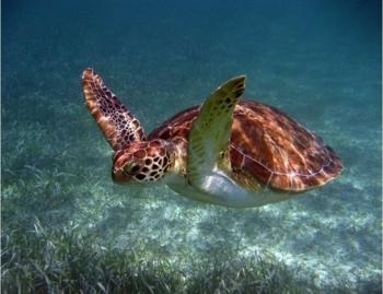 Deze schildpad lijkt te vliegen. Voor de verandering.