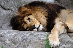liggende leeuw die eruit ziet alsof hij zich enorm verveelt
